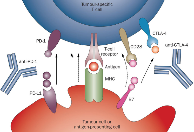 Nivolumab Opdivo Survival Benefit In Nsclc Thasso
