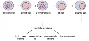 Plasma cell development and their effects on phenotypes of multiple myeloma