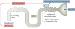 SGLT2 Inhibitors )
