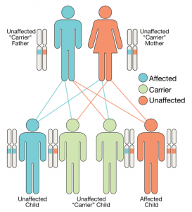 Autosomal recessive pattern of inheritance of a chromosome carrying a faulty gene, labeled in orange in the present illustration.