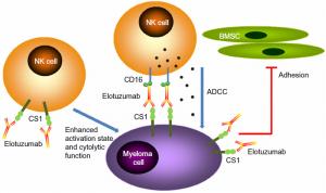CS1 = SLAMF7; Elotuzumab mode of action