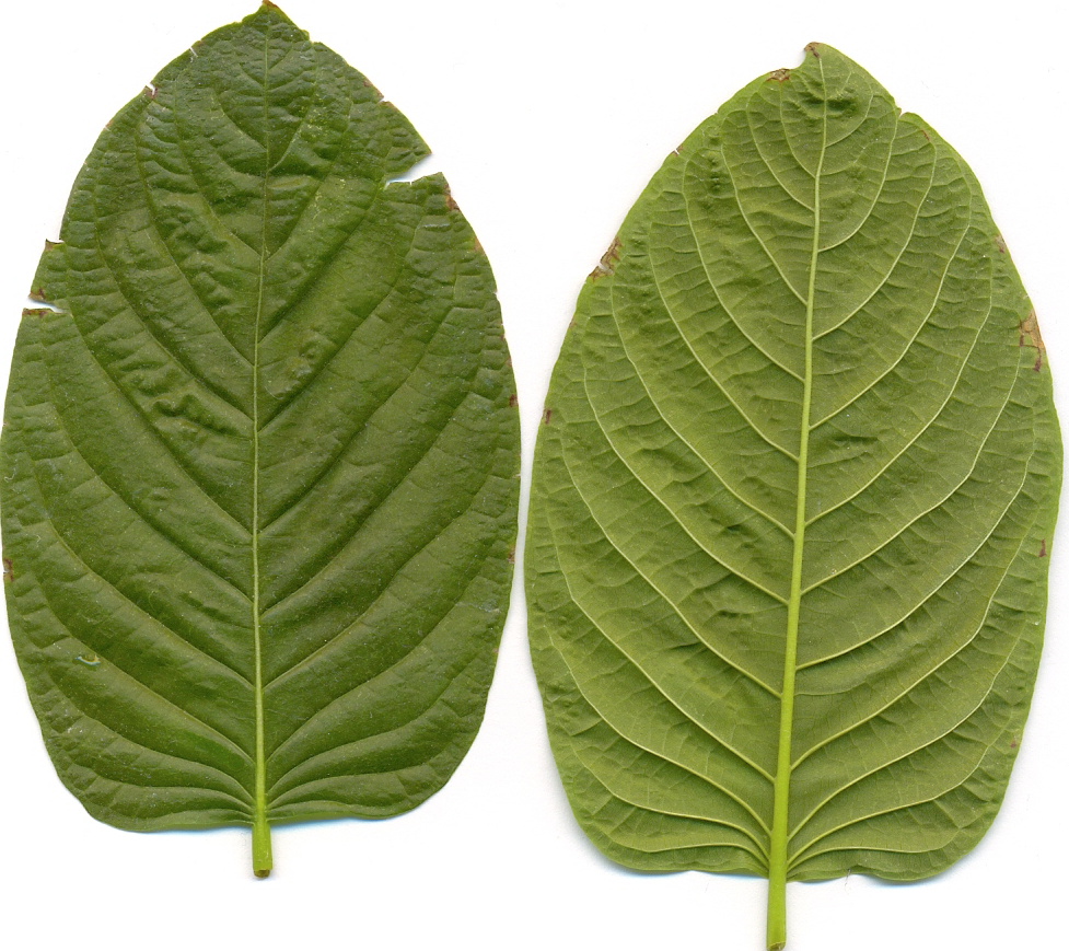 Dietary supplements containing kratom have been seized in the United States