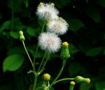 Verunreinigung pflanzlicher Arzneimittel durch Pyrrolizidinalkaloide: BfArM macht der pharmazeutischen Industrie neue Vorgaben