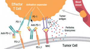 Antibody-based inhibitors of the PD-1/PD-L1 pathway