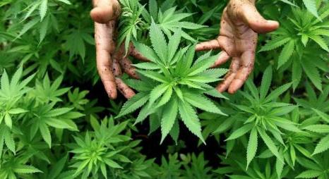 France: L'évaluation du cannabis thérapeutique par le CSST