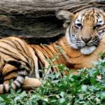 """Le Clenox et le Stanox sont des """"Malay Tigers"""" dangereux"""
