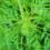 Remèdes Covid-19: L'ANSM met en garde contre l'Artemisia annua